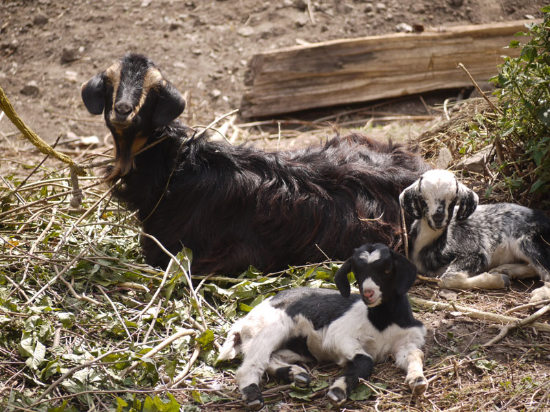 Kodari Nepal-Tibet borderMother goat and her kids in the little farming village of Liping near the Nepal-Tibet border