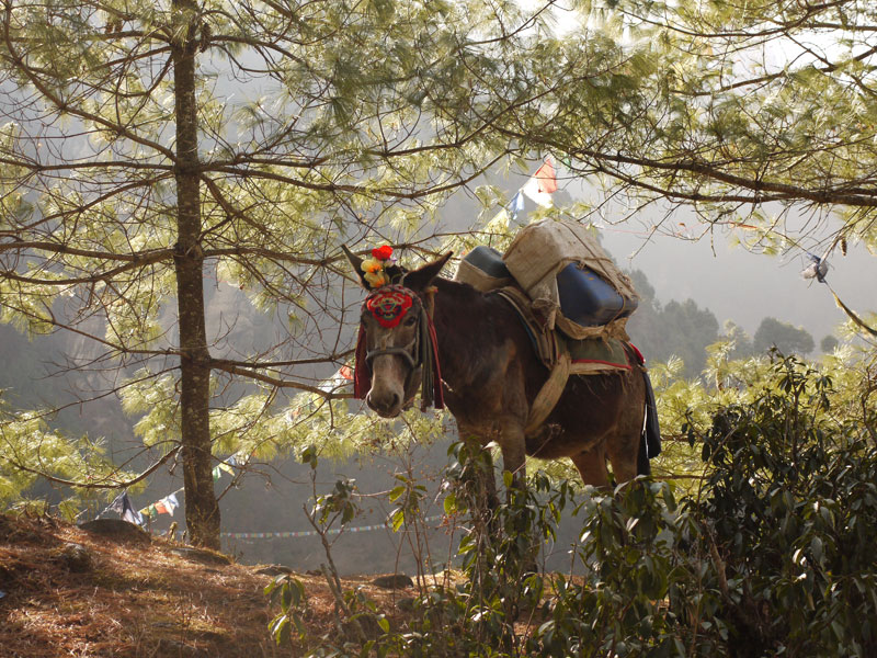 Mule carrying equipment along the trail just outside the little village of Tok Tok on the Everest Base Camp Trek