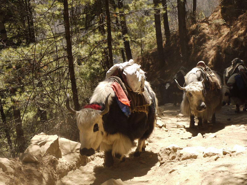 We stand in out of the way of these huge hairy yaks near Phunke Tenga