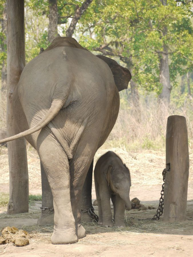 Mother and baby elephant at Chitwan National park