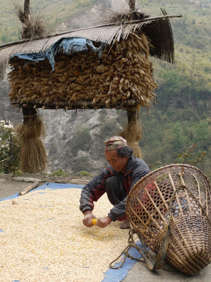Local man shearing corn off the cob, Annapurna Base Camp, Nepal
