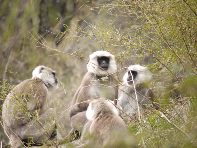 Common Langur monkeys hang out along the mountainside watching us, watching them