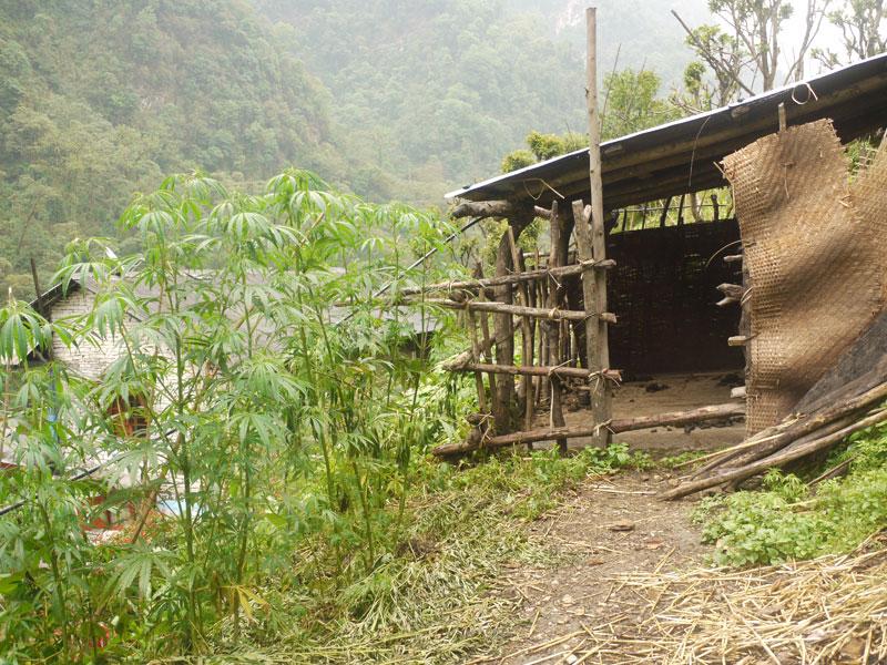 Marijuana plants in the old ladies garden