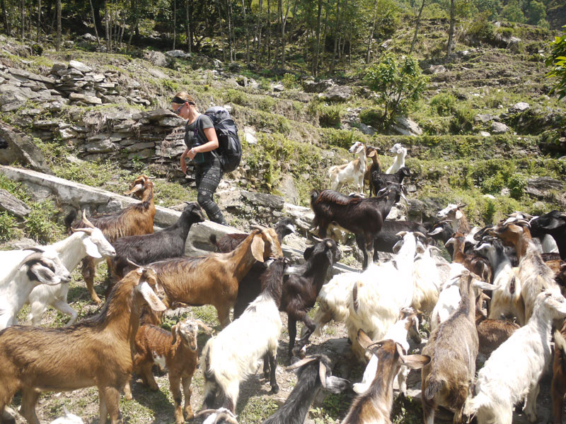 Noelle surrounded by a herd of curious goats!