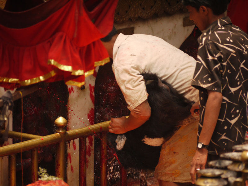 Goat being beheaded as a scarifice at Dakshinkali Temple, Nepal