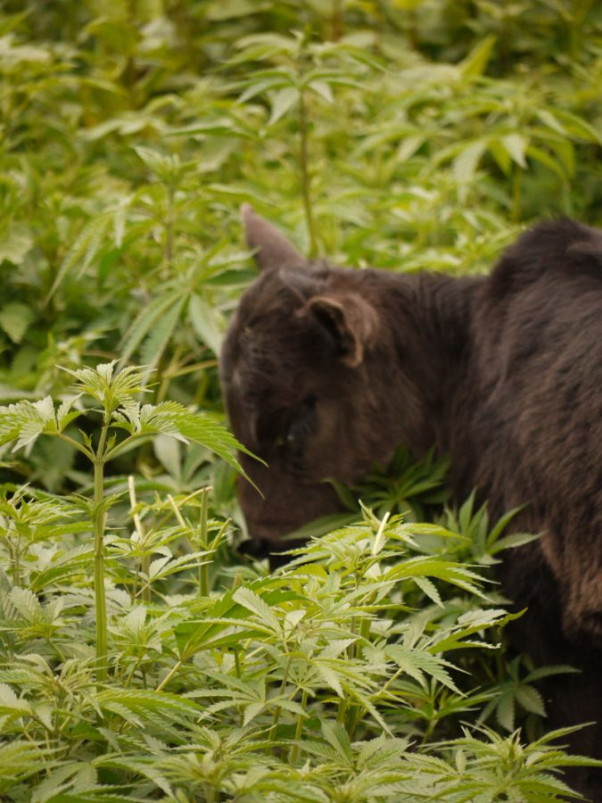 Cow wandering through the marijuana plants, Malana