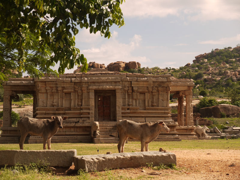Cows Hanging Out, Hampi