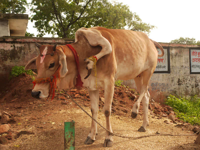 Five legged cow, Orchha