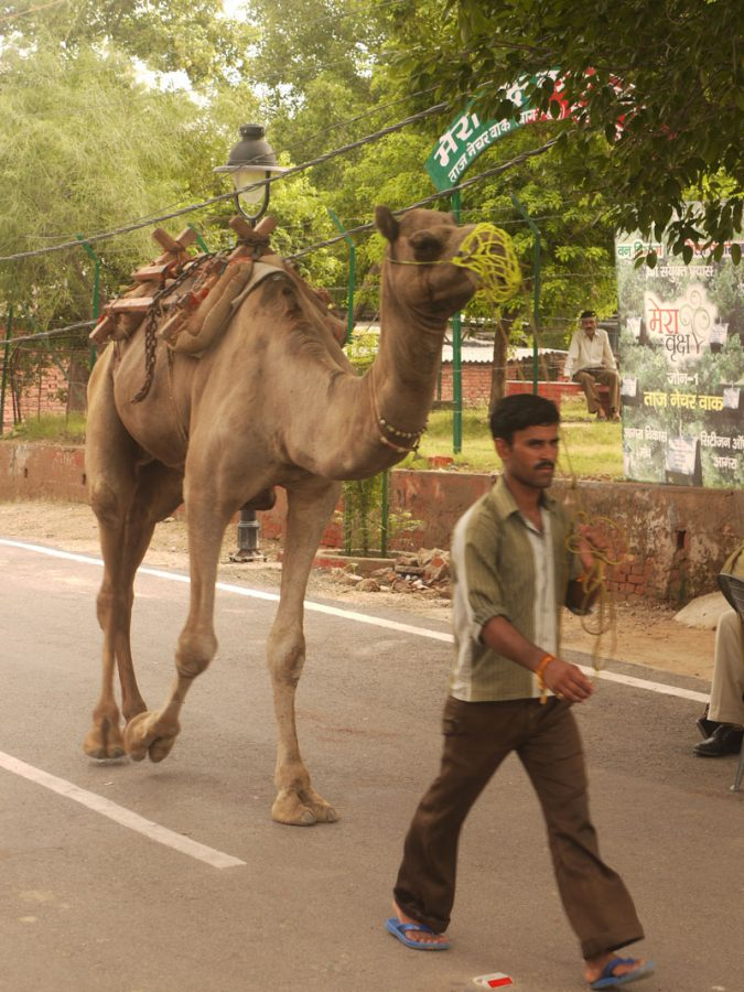 A man walking his camel through the Taj Ganj area, Agra