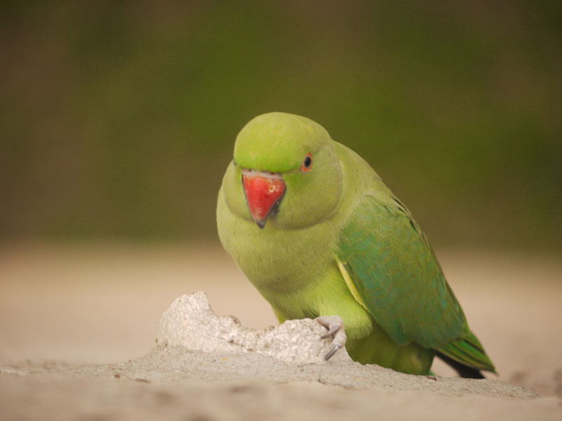 Ring Necked Parrot, Ahmedabad
