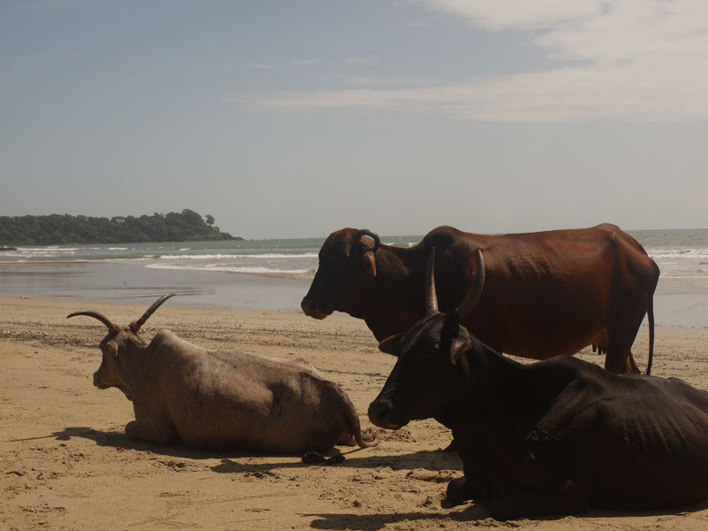 Cows on the beach, Patnem, Goa