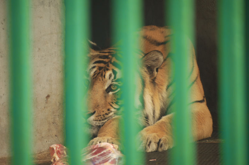 Sad looking, caged tiger, Trivandrum Zoo