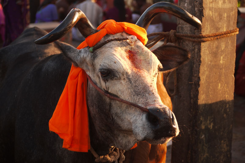 Holy Cow hanging out at Rameswaram's shores at sunrise.