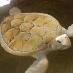 VIDEO Rare Albino Turtle, Sri Lanka