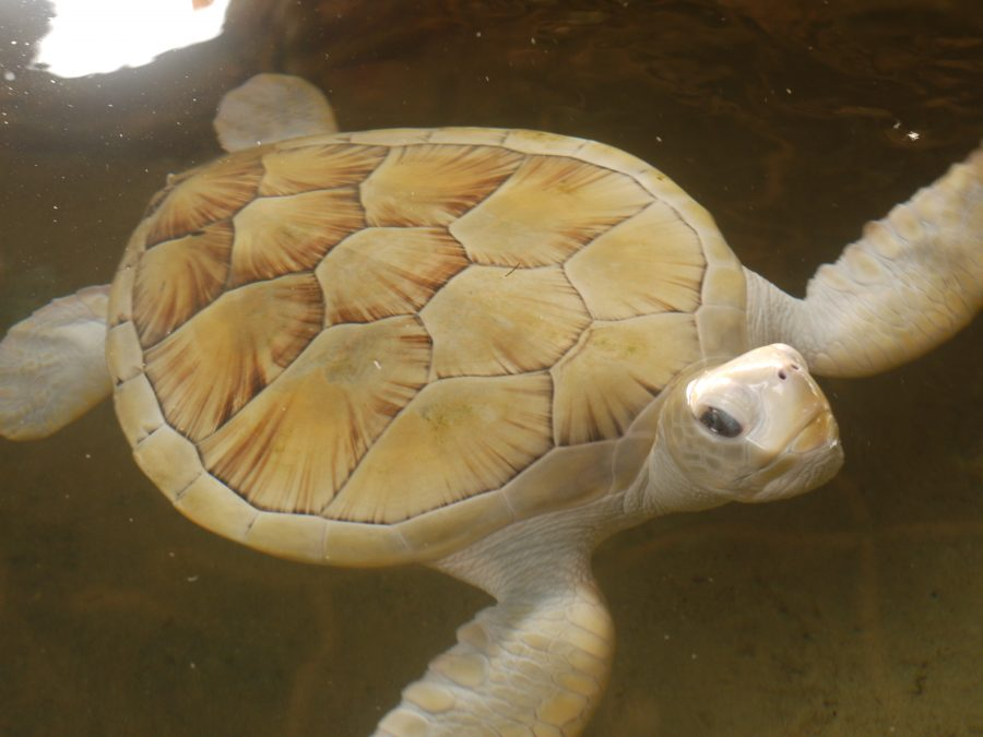 Albino Turtle at the turtle sanctuary, Bentota, Sri Lanka