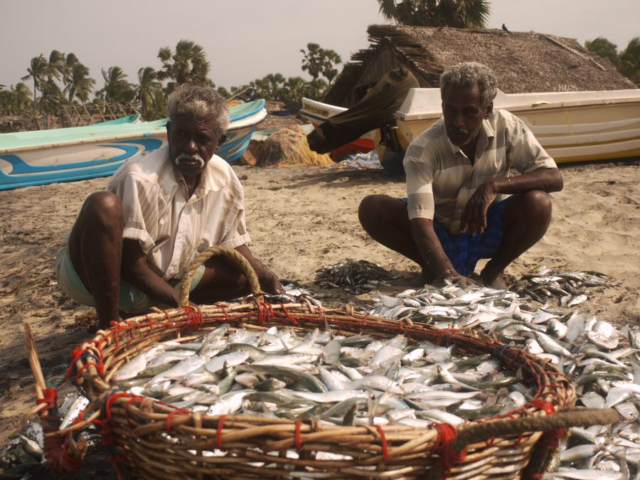 Sorting through the mornings catch, Talaimannar