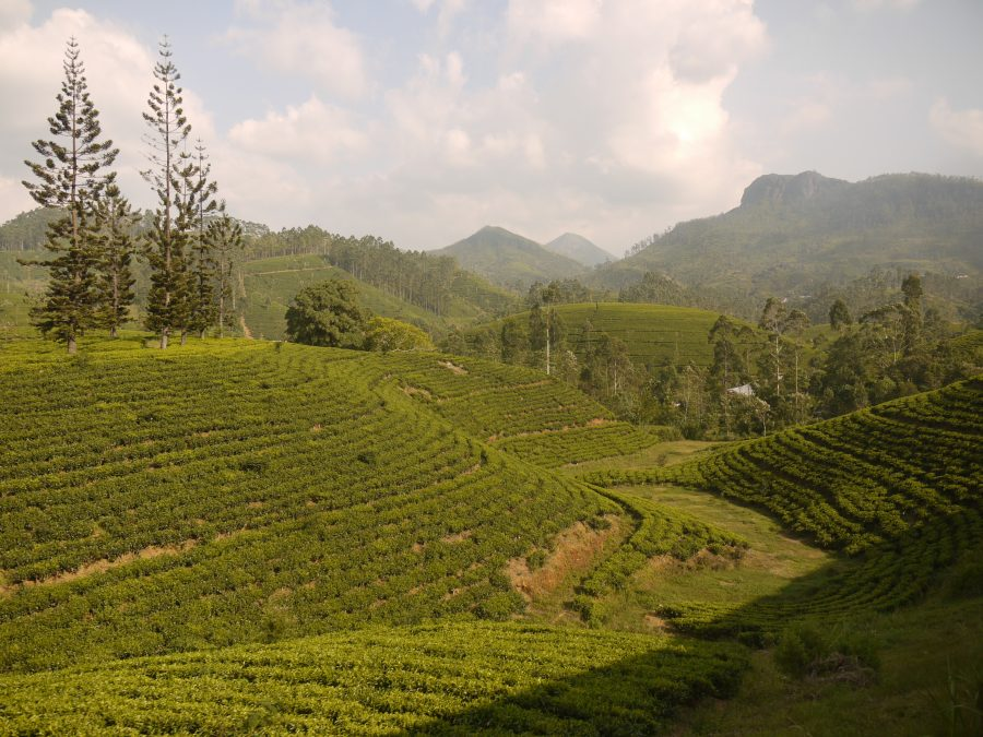 Tea plantations as far as the eye can see in central Sri Lanka