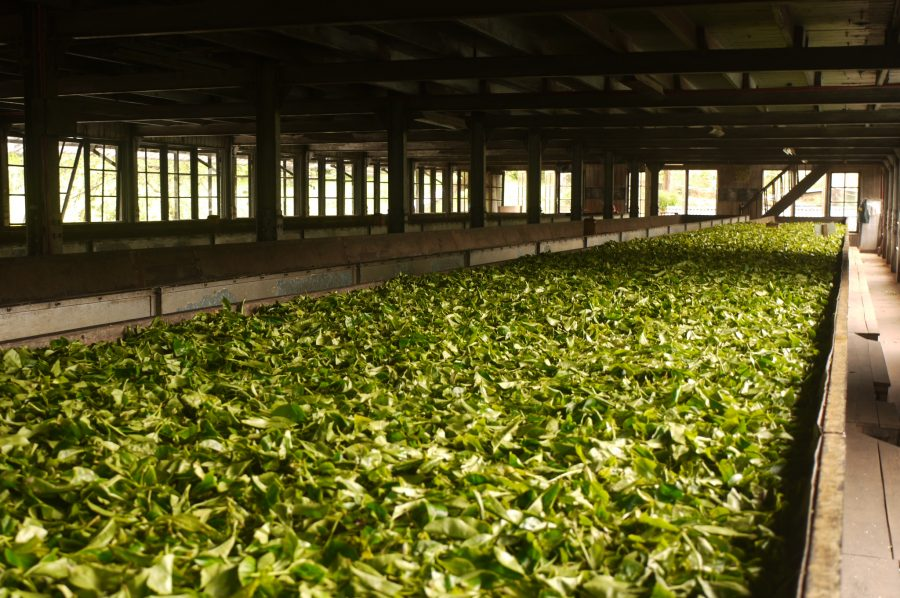 Tea Leaves drying in the Labookellie Tea Factory, Nuwara Eliya, Sri Lanka