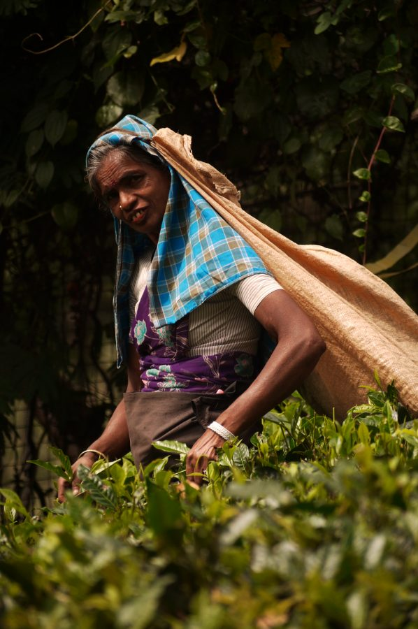 Tea Picker at the Labookellie Tea Factory, Nuwara Eliya, Sri Lanka