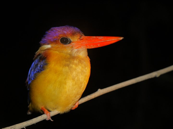 Travel Photo: Kingfisher in Borneo