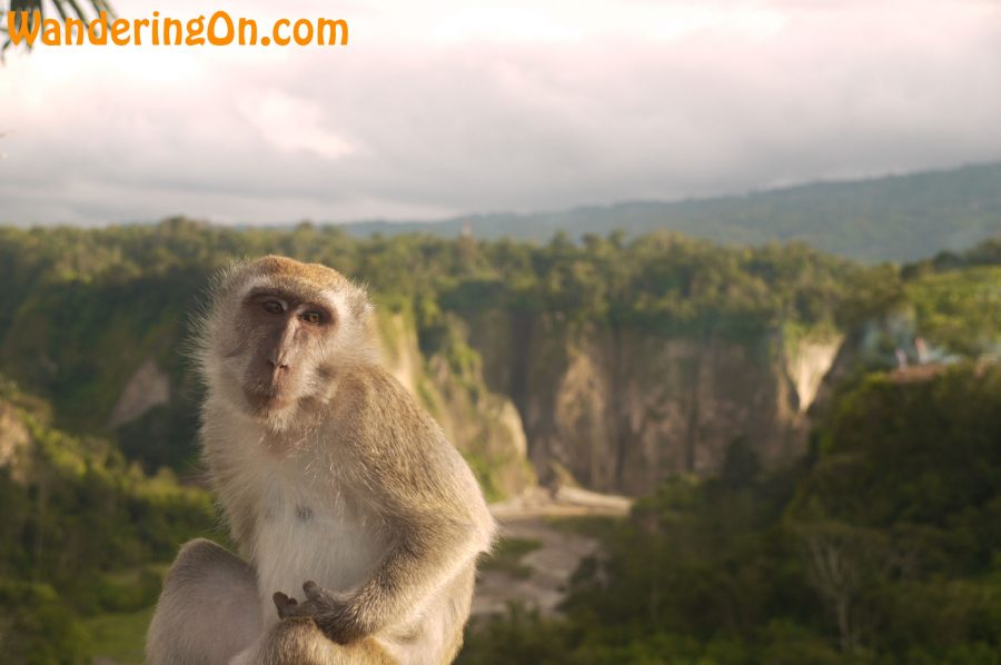 One of the many monkeys hanging around the Sianok Canyon in Bukittinggi, Sumatra, Indonesia