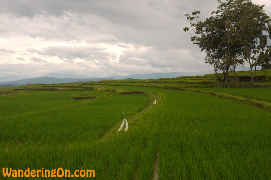 Rice Paddies as far as the eye can see on the way to King's Palace in Pagaruyung, Sumatra, Indonesia