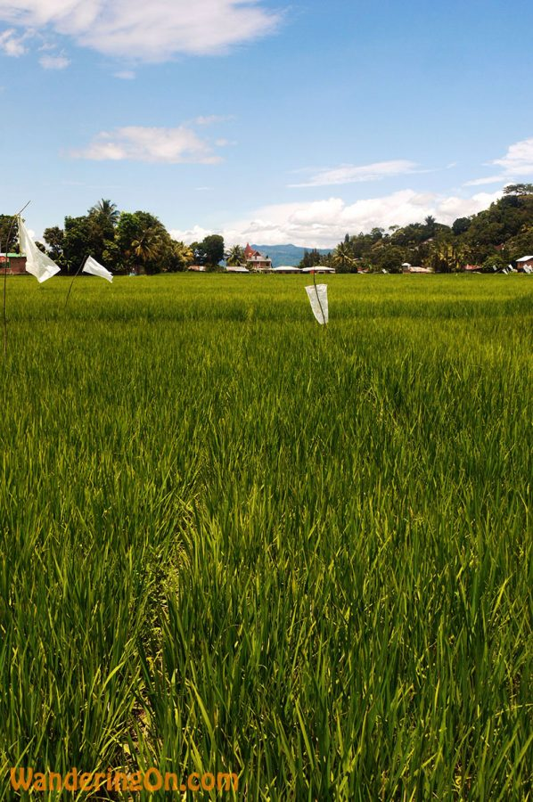 Love the colours here. Rice paddies under blue skies.