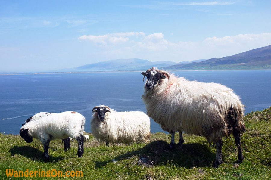 Curious sheep at Brandon Point, Co. Kerry, Ireland