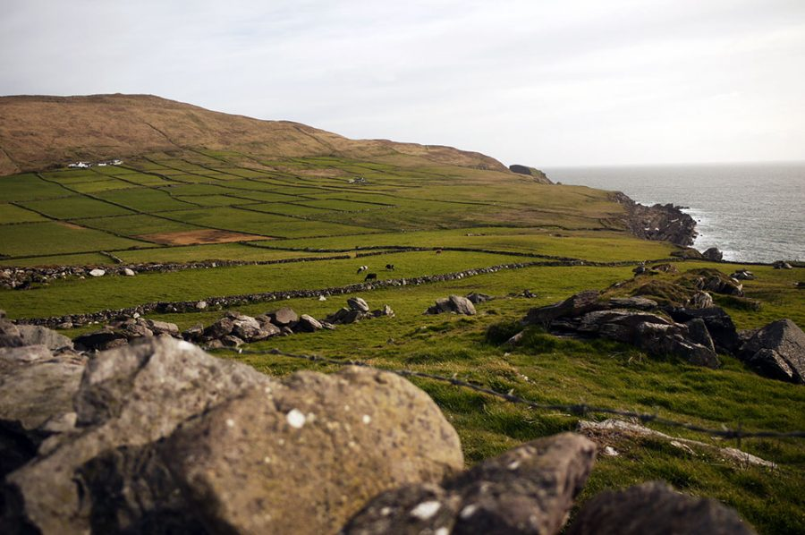 Peering over an old stone wall on the Mizen Head Peninsula, West Cork