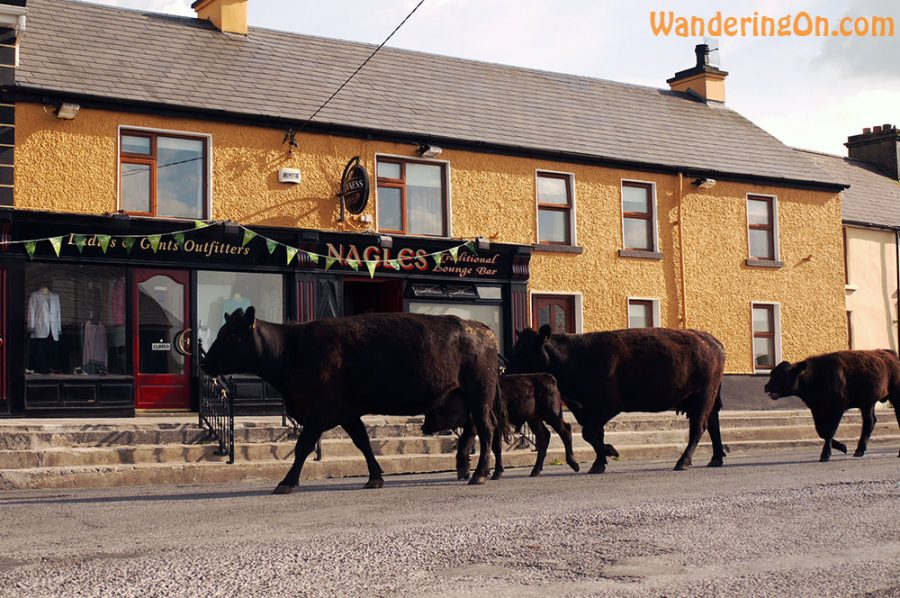 Cows strolling down the main street of a small town in Co. Clare