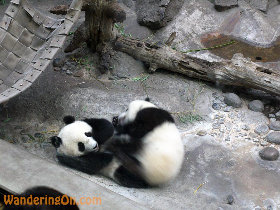 Baby Pandas at Beijing Zoo