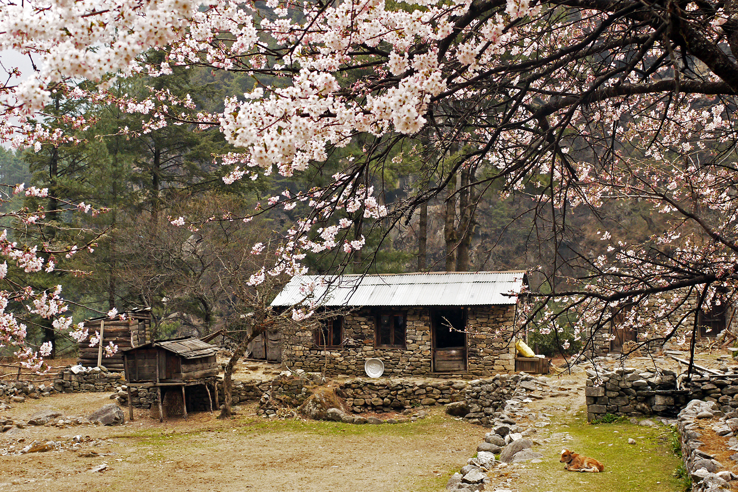Cherry blossoms frame a simple house on the walk from Lukla to Jiri