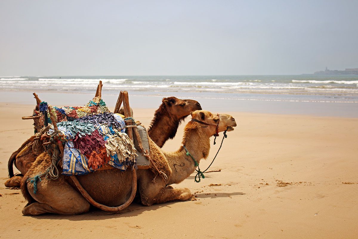 Camels chilling on the beach at Essaouira.
