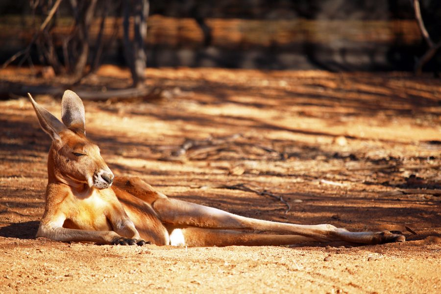Now that's one chilled out Kangaroo