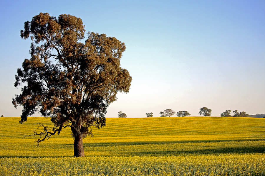 A lone tree amongst the canola Blooms in the Clare Valley