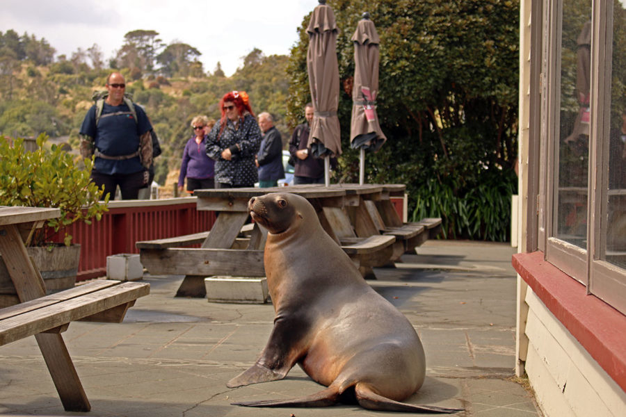 The seal who wanted to pop in for a pint outside the pub on Stewart Island | New Zealand wildlife