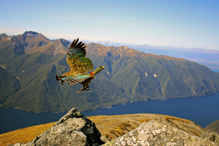 The Kea bird one of nz native birds